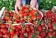 نابل : 550 هكتار مزروعة فراولة