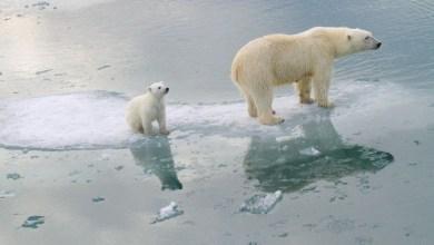 صورة معاناة الدب القطبي في القطب الشمالي بسبب ذوبان الجليد الناجم عن الاحتباس الحراري