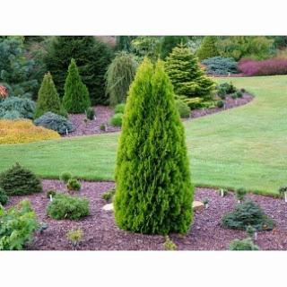 http://www.covera.ro/casa-gradina/gradinarit-exterior-interior/arbori-arbusti/thuja-orientalis-60-80-cm-ghiveci-aclimatizat-in-romania_12453/