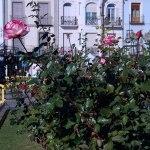 Las rosas de la Navidad