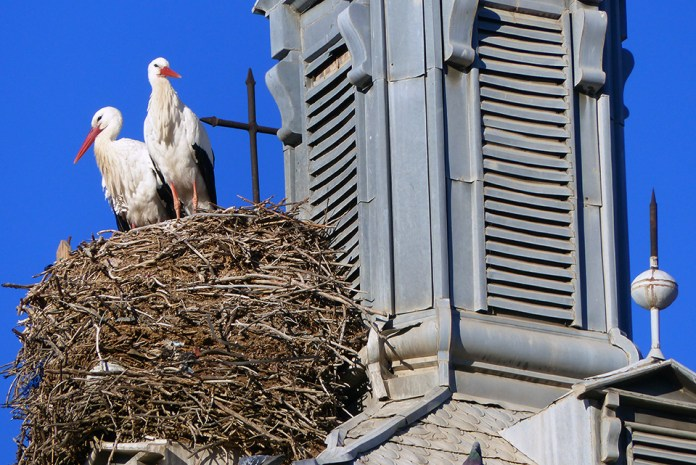 Cigüeñas en el nido consistorial [ reloj del ayuntamiento ]
