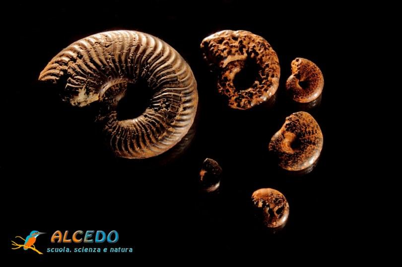 ammoniti ALCEDO
