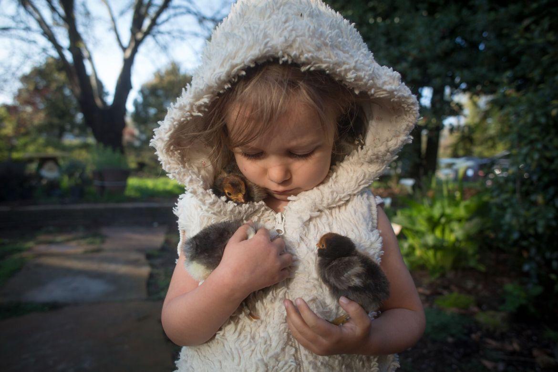 little-farm-hand-with-her-chicks-alchemist-farm-sebastopol-california