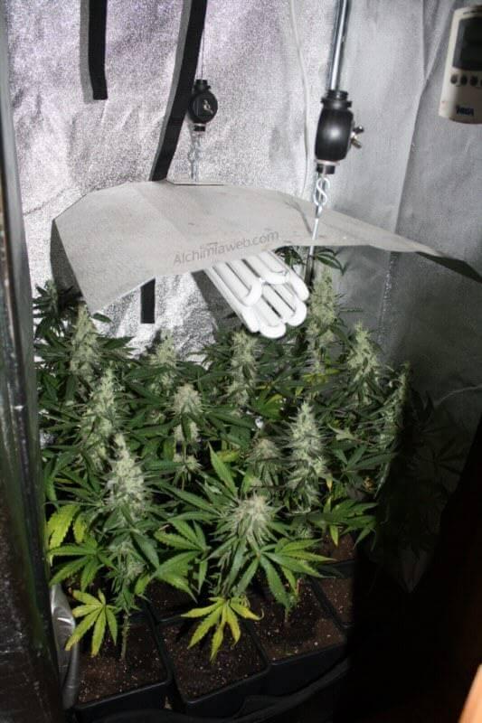 Cultivar marihuana con bombillas de bajo consumo  Blog
