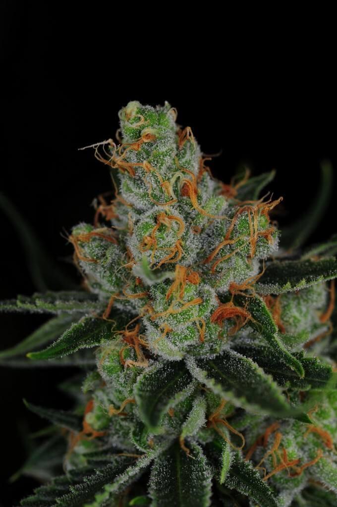 Historia de variedades de marihuana  Blog del Grow Shop