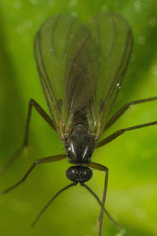 Adult specimen of a black fly