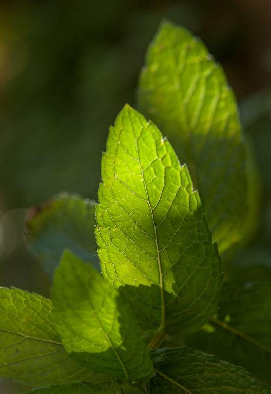 The scent of mint repels fungus gnats