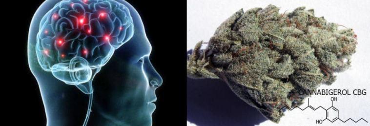 Cannabigerol (CBG) has neuroprotective properties