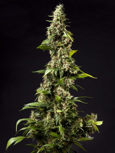 Outstanding Orange Candy feminized from Philosopher Seeds