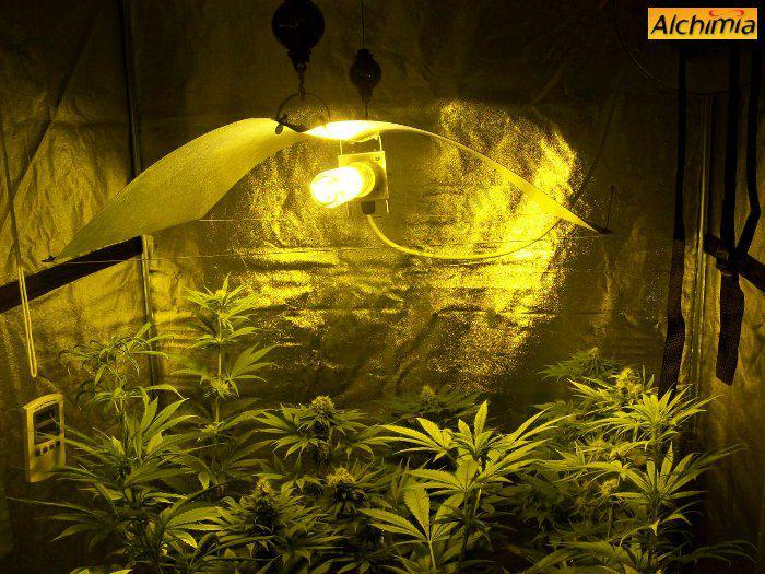 Culture Interieur De Cannabis Blog Du Growshop Alchimia