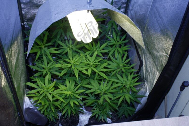 Cultiver Du Cannabis Avec Des Lampes Basses Consommation