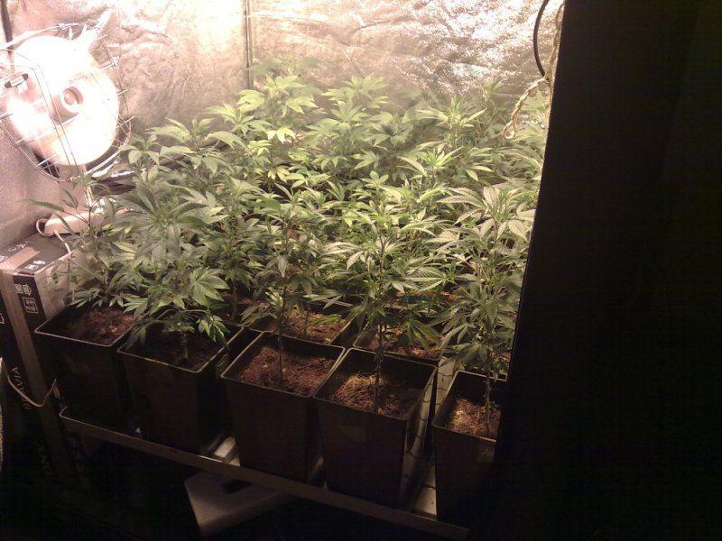 Culture de cannabis en SOG Sea Of Green  Blog du
