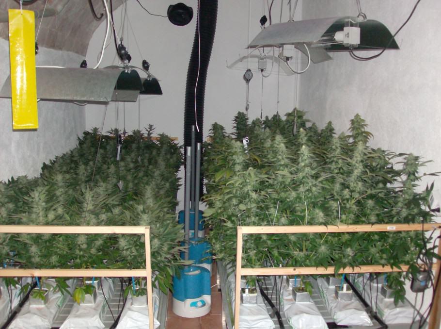 La Bouture De Cannabis Blog Du Growshop Alchimia
