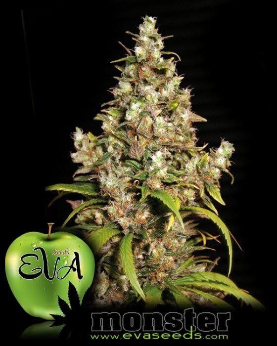 Vente de graines de cannabis Monster de Eva Seeds