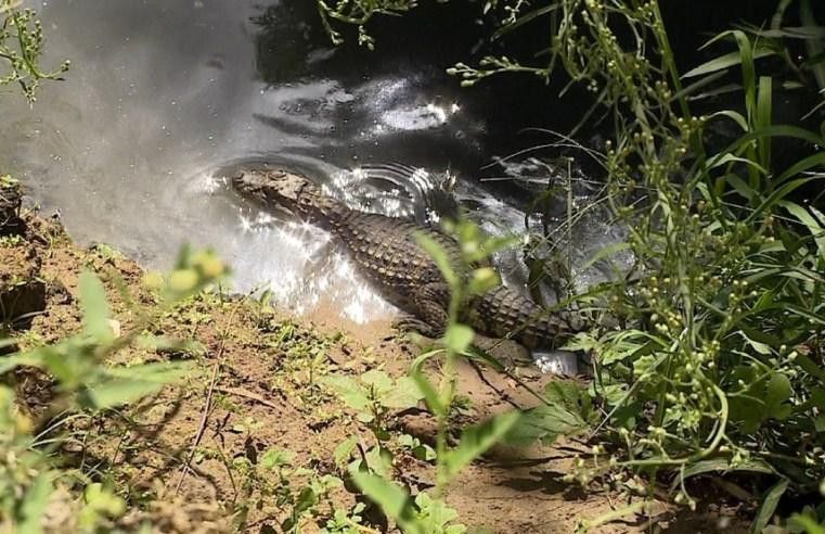 Autoridades ambientais monitoram jacarés vistos próximos de casas de Santa Maria