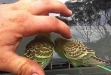 Photo of Wild Budgerigars in Australia