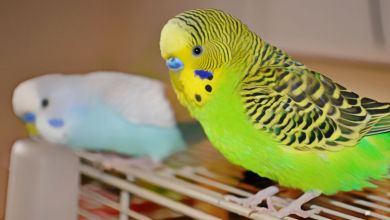 Photo of How To Let Your Budgerigar Out Of The Cage