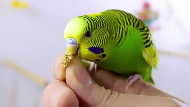 Photo of What type of foods should you buy for your budgie bird?