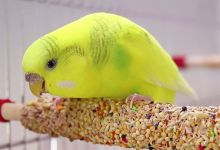 Photo of Budgie Food: Everything You Need to Know!