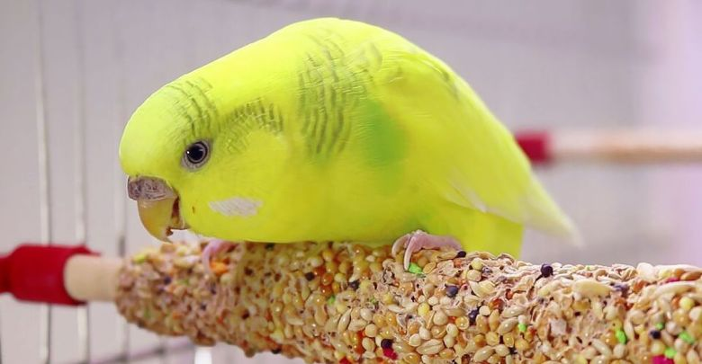 Budgie Food Everything You Need to Know!