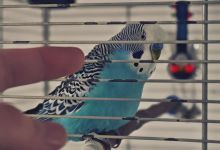 Photo of Budgie in a Cage? Is it Cruel?