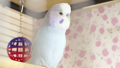 Photo of How to Introduce a Second Budgerigar?