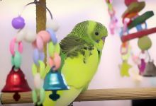 Photo of What do Budgerigars need in their Cage?