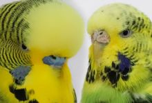 Photo of English Budgerigar – Everything to know
