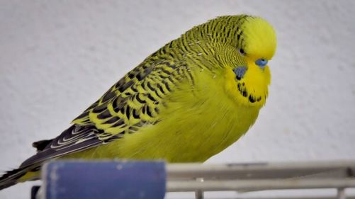 budgie color