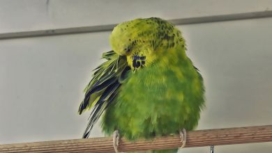 Photo of Budgie Illness – Signs of a sick pet