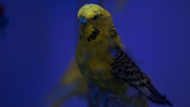 Photo of Glowing birds: Budgies can see and glow under ultraviolet uv light