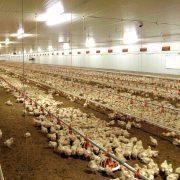 Inteligencia Artificial logra entender el lenguaje de los pollos