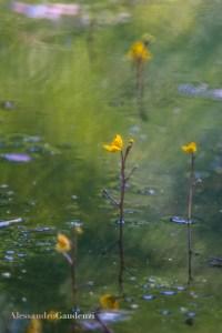 Utricolaria australis