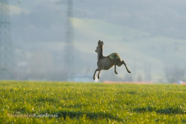 Capriolo on air