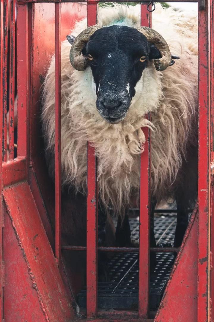 Scozia - Tosatura di pecore sull'isola di Skye