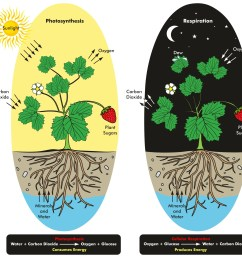 photosynthesis and cellular respiration process of plant during day and night time [ 2101 x 1990 Pixel ]