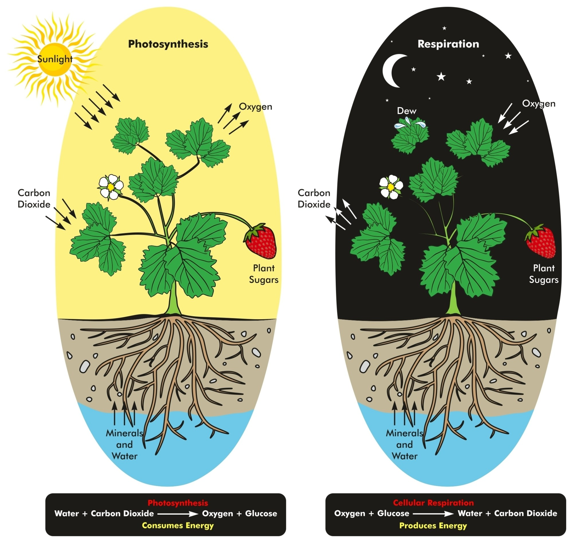 hight resolution of photosynthesis and cellular respiration process of plant during day and night time
