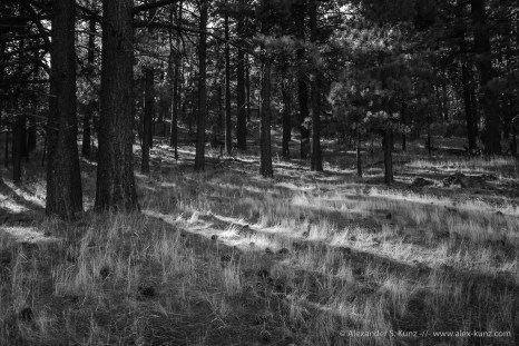 Laguna Mountains Forest Edge