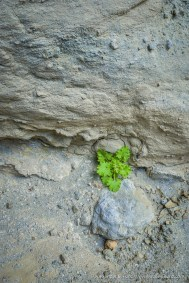 Life finds a Way -- Arroyo Tapiado, Anza Borrego Desert State Park, California, United States