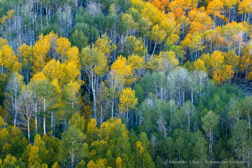 Turning Aspens at Dunderberg Meadows, near Conway Summit, along Highway 395, Mono County, CA. October 2014.