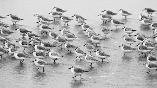 Marching sanderlings at Seaside State Beach, Cardiff By The Sea, California. December 2010.