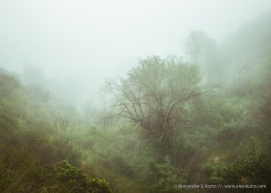 Oaks in a ravine in morning fog near 4S Ranch, San Diego, California. March 2015.