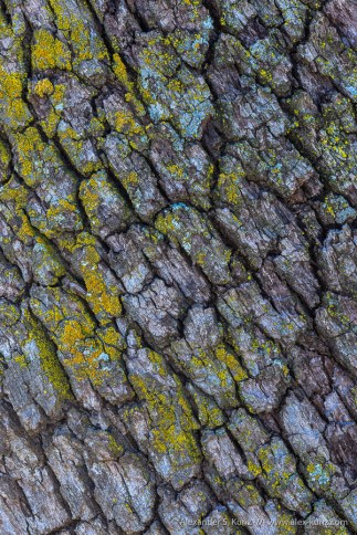 Engelmann Oak Bark Detail, Love Valley, Palomar Mountain, CA.
