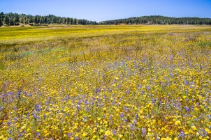 Laguna Meadows full with wildflowers, Laguna Mountains, CA