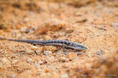 Alligator Lizard -- Ellie Lane Trail, Poway, California, USA