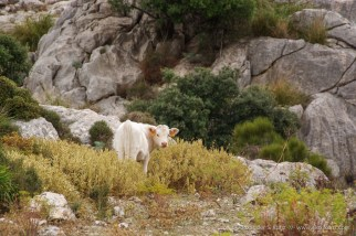 Almost White Cow -- Soller, Mallorca, Spain