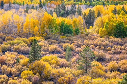 Aspens & Pines -- Conway Summit, Bridgeport, California, United States