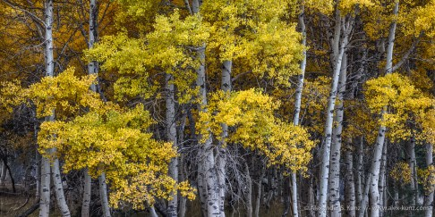 Aspens -- Rush Creek, June Lake, California, United States