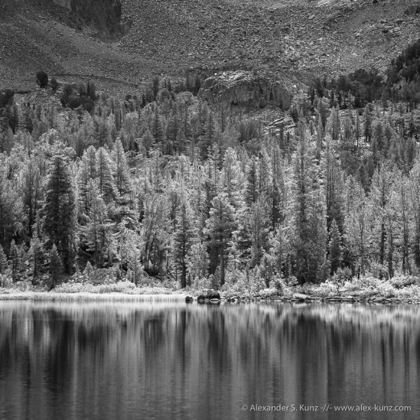 Pines at the shore of Skelton Lake, Mammoth Lakes, CA. August 2012.