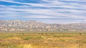 Cows, Temblor Range -- Carrizo Plain, San Luis Obispo County, California, USA